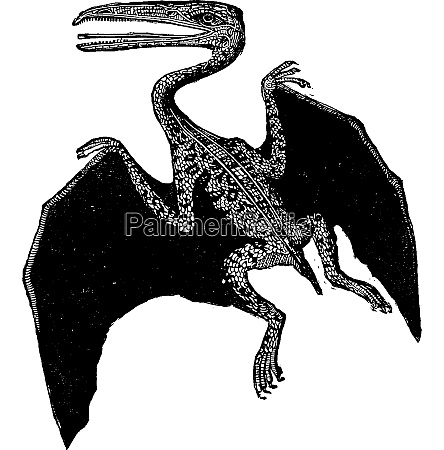 the pterodactyle vintage engraving