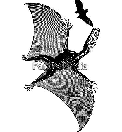 pterodactyl and bat vintage engraving