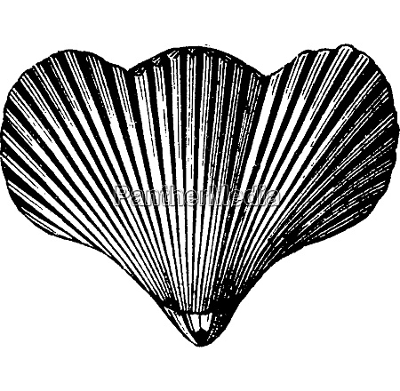 rhynchonella vespertilio vintage engraving