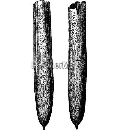 belemnites of the cretaceous vintage engraving