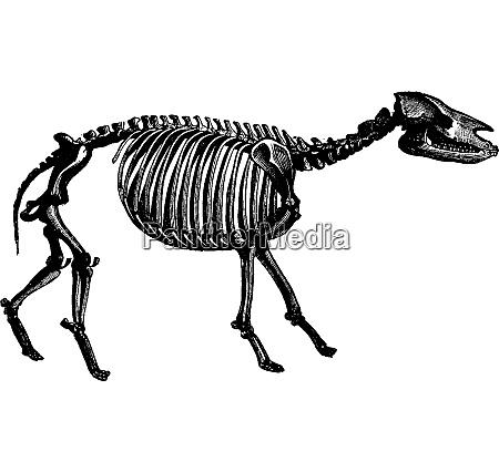 palaeotherium skeleton vintage engraving
