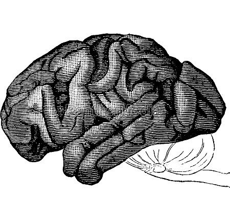 brain chimpanzee vintage engraving
