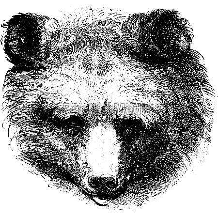 bear vintage engraving