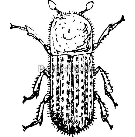 the bark beetle linnaeus vintage engraving