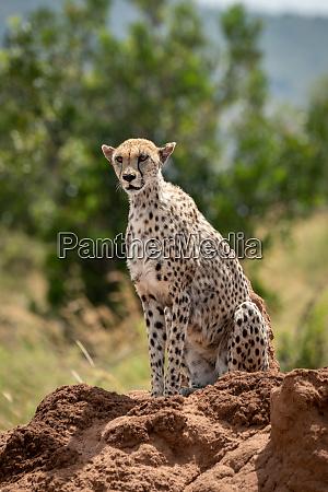 female cheetah sits on sunlit termite