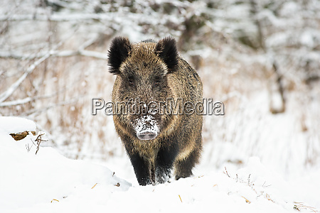 powerful wild boar standing in snow