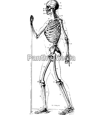 skeleton vintage engraving