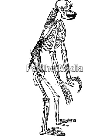 skeleton of chimpanzee or chimp vintage