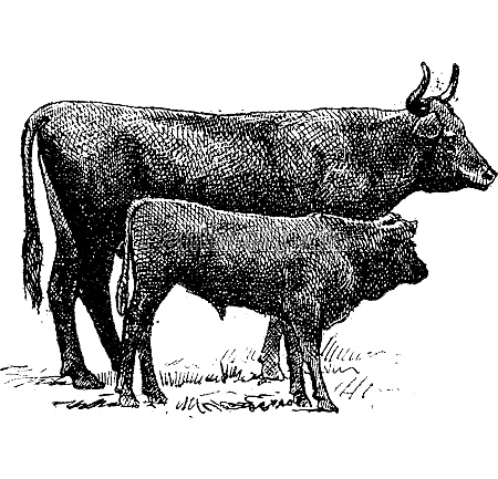 auvergne cattle breed vintage engraving