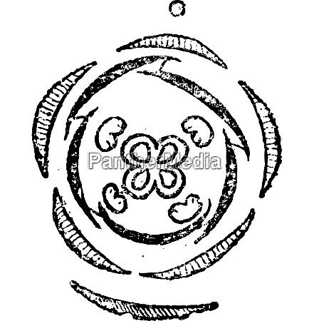 verbena or verbenaceae vintage engraving