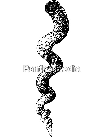 worm snail or petaloconchus adansoni vintage