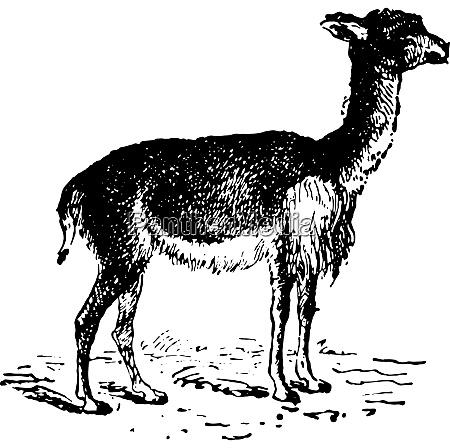vicuna or vicugna vintage engraving