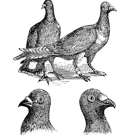 belgian carriers liege or antwerp pigeon