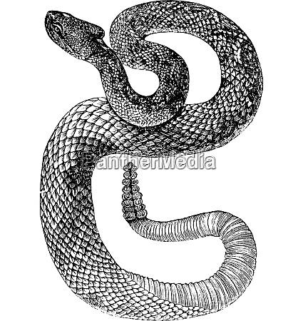 south american rattlesnake or tropical rattlesnake