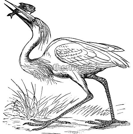 great white heron ardea occidentalis vintage