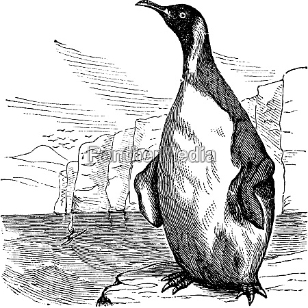 king penguin or aptenodytes patagonicus vintage