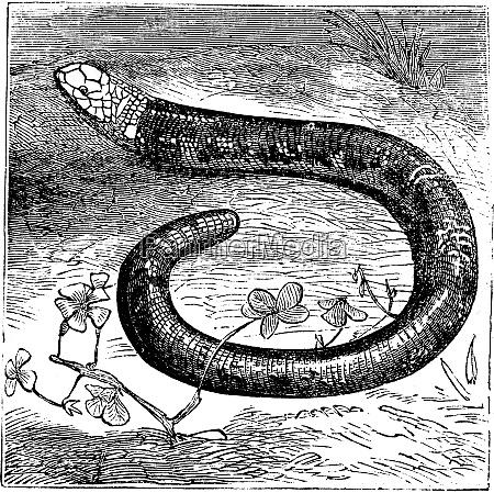 amphisbaena fuliginosa black and white worm