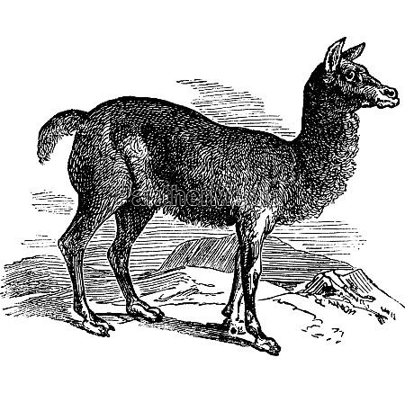 alpaca or vicugna pacos vintage engraving