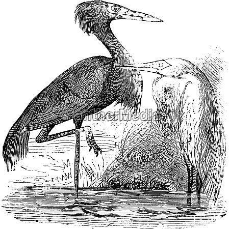 engraving of a reddish egret ardea