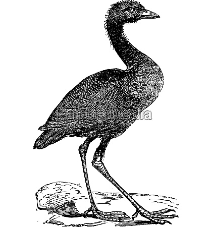 grey winged trumpeter or psophia crepitans