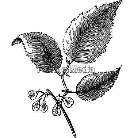 slippery elm or ulmus fulva isolated