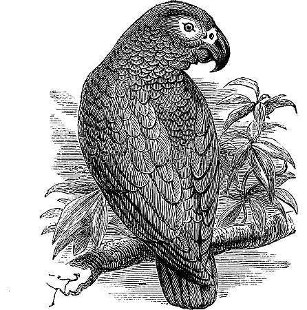 african grey parrot or psittacus erithacus