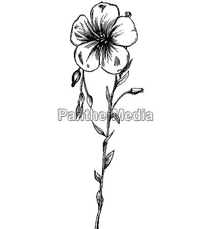 flax flower vintage engraving