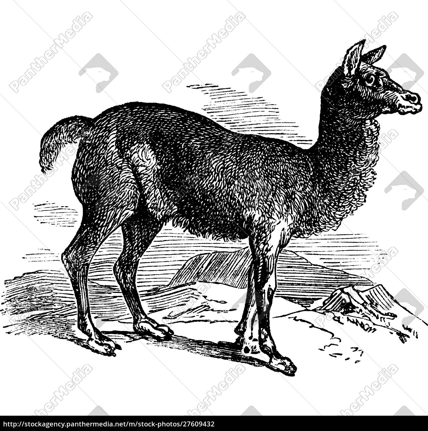 alpaca, or, vicugna, pacos, vintage, engraving. - 27609432