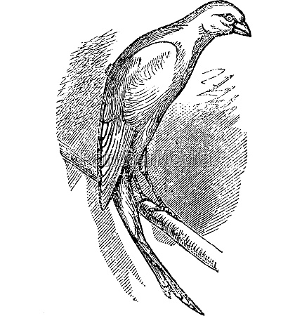 scottish fancy canary or scottish canary