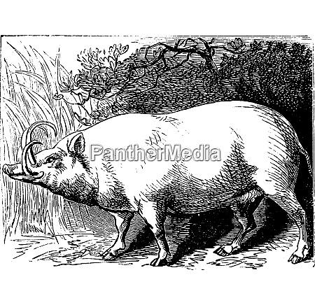 the babirusa or pig deer vintage