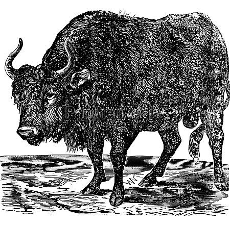 the american bison or american buffalo