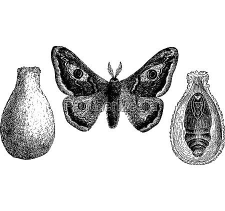 saturnia vintage engraving