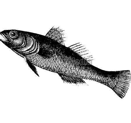 black goby or gobius niger fish