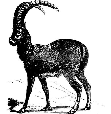 alpine ibex or capra ibex goat