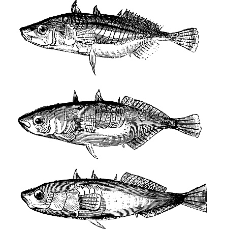 three varieties of sticklebacks vintage engraving