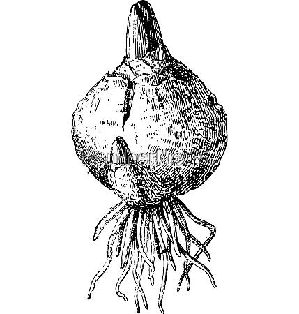 bulb vintage engraving