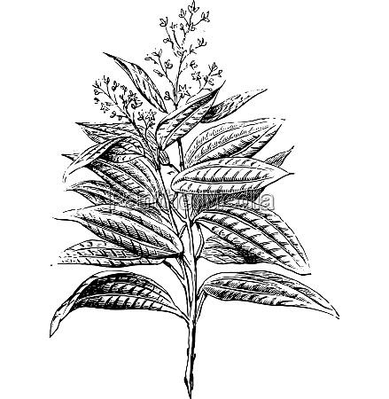 ceylon cinnamon flowers and leaves vintage