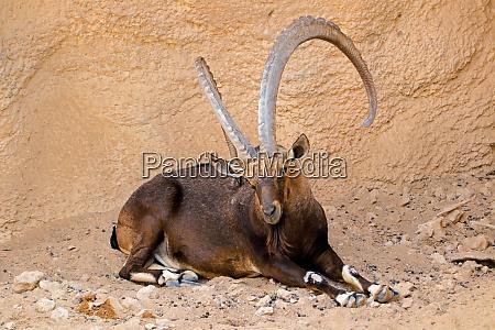 large male nubian ibex