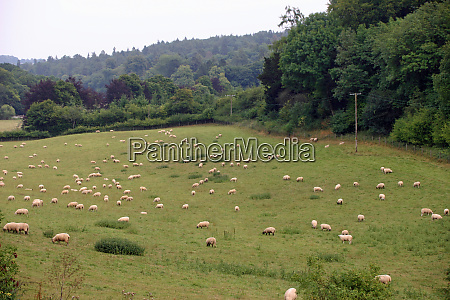 field with grazing sheep