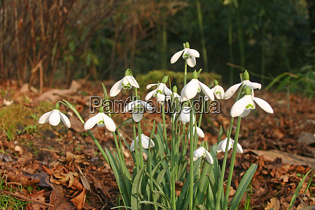 snowdrops in woodland