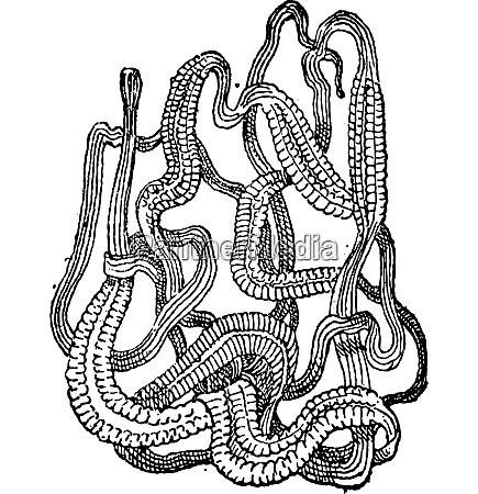 ribbon worm or nemertea vintage engraving