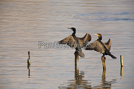 two cormorants phalacrocorax carbo in the