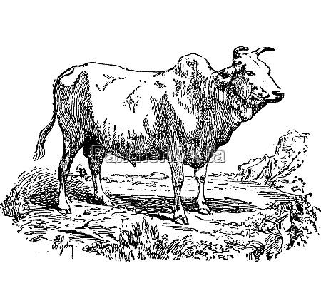 zebu or humped cattle vintage engraving