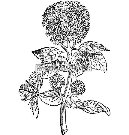 smyrnium vintage engraving