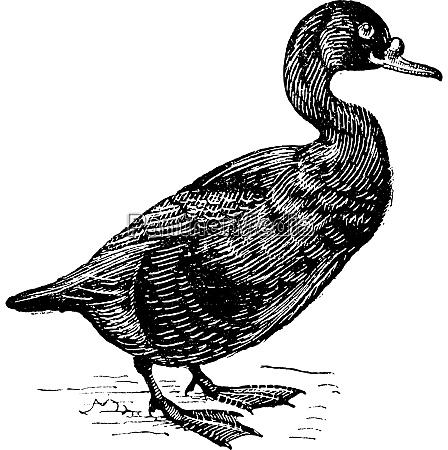 scoter or melanitta nigra vintage engraving