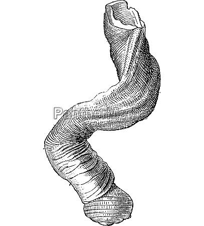 magilus coral snail or magilus antiquus