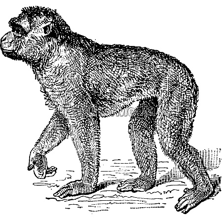 barbary macaque or macaca sylvanus vintage