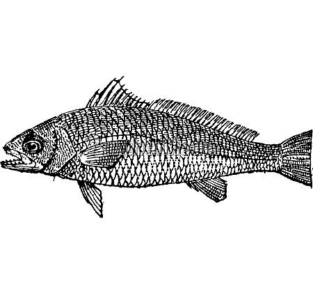 meagre or argyrosomus regius vintage engraving