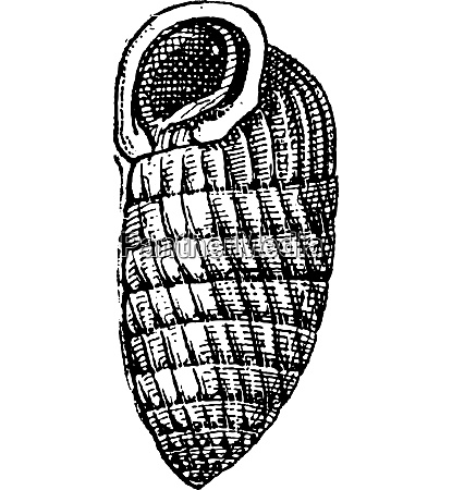 chrysalis snail or lauria cylindracea vintage