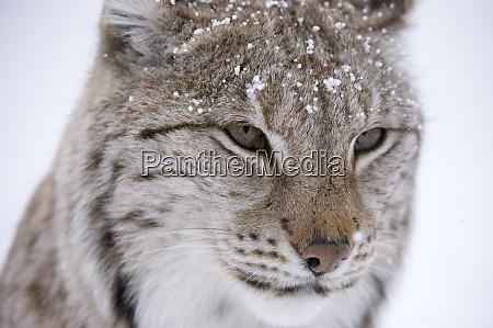 european lynx lynx lynx captive